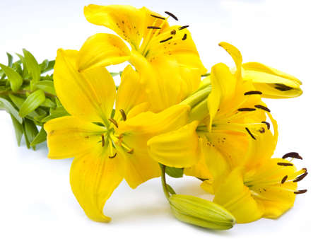 Yellow lily isolated on white background photo