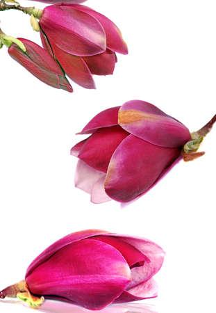 Magnoliabloemen die op witte achtergrond worden geïsoleerd Stockfoto