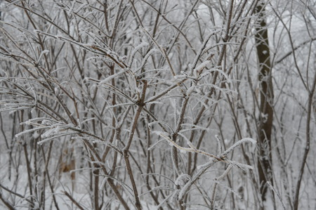 freezed: Freezed tree in Winter (Canada)