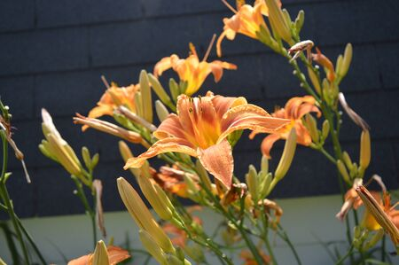 orange lily: Orange Lily in village