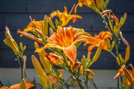 orange lily: Orange lily in Canada
