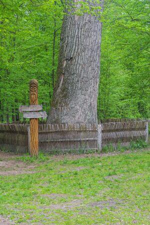 arbol roble: Big 600 years old oak tree in the Belovezhskaya Pushcha nature reserve. Foto de archivo