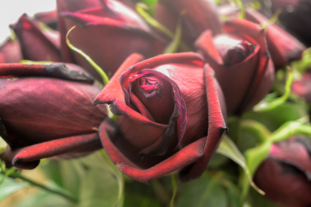 faded: Beautiful faded red roses