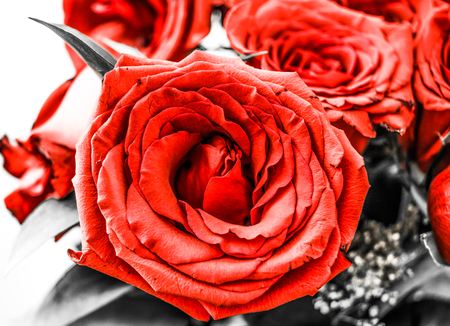flourished: Beautiful flourished red roses in a grey background.