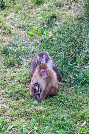 apes: Apes safari in Quebec, Canada.