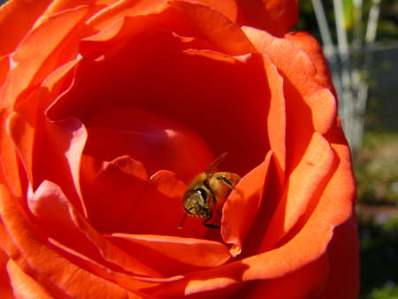 A honeybee coming out of a orange rose