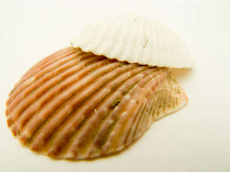 beachcomb: One white and one brown seashell together