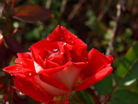 Beautiful red rose with raindrops on its petals Stok Fotoğraf