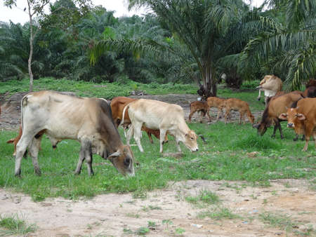 A group of cows in the field in Malaysia photo