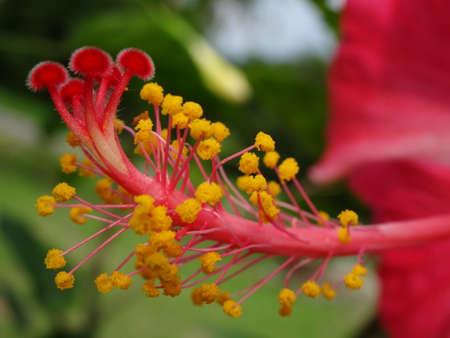 androecium: stamen and pistil of Hibiscus rosa-sinensis Stock Photo