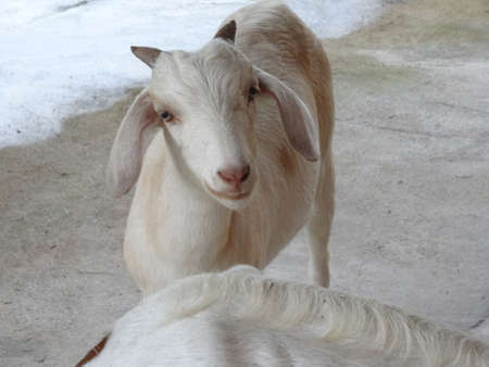 south east: A white goat in the ranch in Malaysia, south east asia