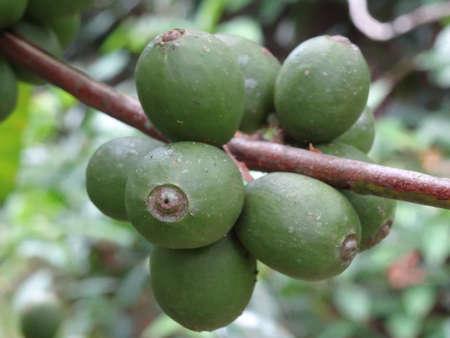 coffea: Unripe Coffee fruits close up, photo taken in Malaysia Stock Photo