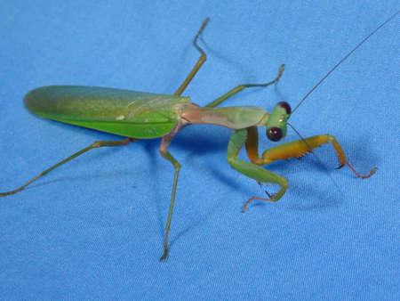 praying mantis: praying mantis close up on blue background Stock Photo