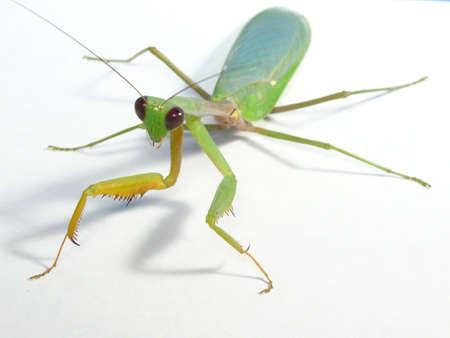 praying mantis: praying mantis close up on white background