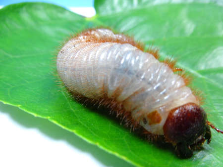 larva: A coconut rhinoceros beetle larva on leaf, photo taken in Malaysia
