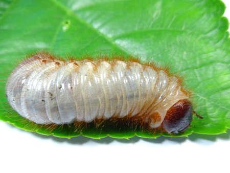 scarabaeidae: A coconut rhinoceros beetle larva on leaf, photo taken in Malaysia