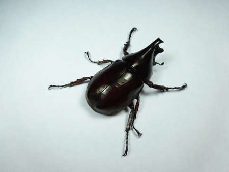 A coconut rhinoceros beetle  on white background , photo taken in Malaysia