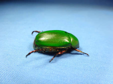 A green beetle  on blue background , photo taken in Malaysia