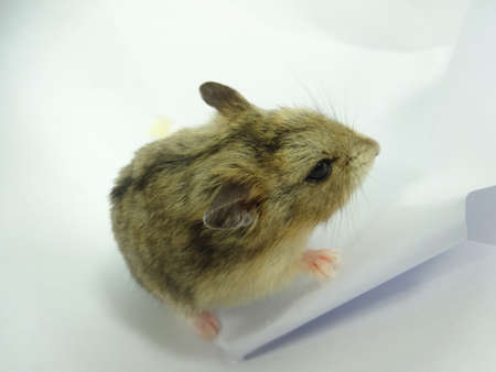 hamsters: A brownish  hamsters in white background