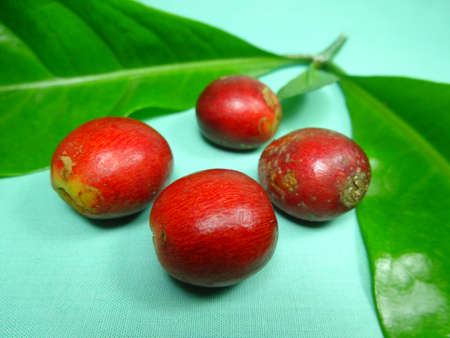 coffea: ripe Coffee fruits close up on light green background, photo taken in Malaysia