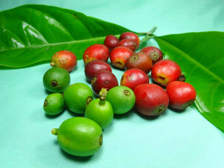coffea: Coffee fruits close up on light green background, photo taken in Malaysia