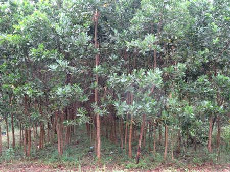 acacia tree reforestation close up. Malaysian furniture wood tree.