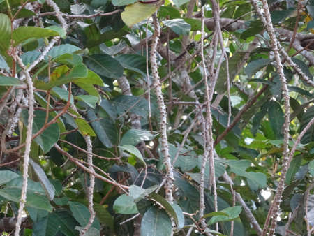 herbaceous: Guduchi herbaceous vine close up on tree