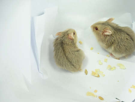 hamsters: Two brownish baby  hamsters in white background