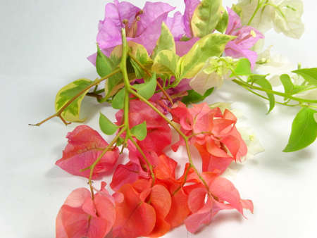 scattered on white background: Bougainvillea ornamental flowers scattered in white background, photo taken in Malaysia Stock Photo