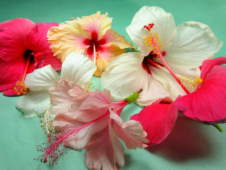 A group of colourful hibiscus flowers close up in light green background. Photo taken in Malaysia photo