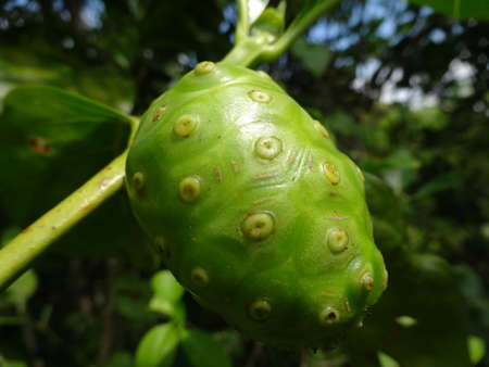An unripe  cheese fruit close up on tree, photo taken in Malaysia photo
