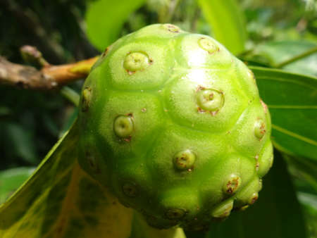 great morinda: An unripe  cheese fruit close up on tree, photo taken in Malaysia Stock Photo