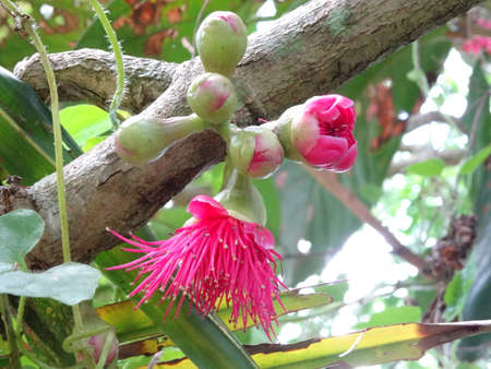rose tree: Malay rose apple flowers close up on tree Stock Photo