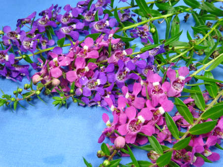 lavandula angustifolia: A group of colourful pink pink and purple lavender flowers close up in blue background. Photo taken in Malaysia