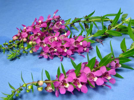 lavandula angustifolia: A group of colourful pink lavender flowers close up in blue background. Photo taken in Malaysia