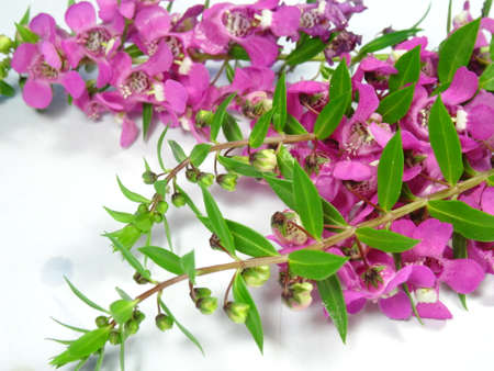lavandula angustifolia: A group of colourful pink lavender flowers close up in white background. Photo taken in Malaysia
