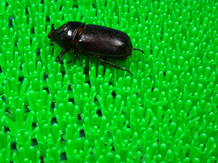 oryctes: A coconut rhinoceros beetle  on artificial green grass background  photo taken in Malaysia