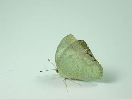 greyish: a white  butterfly in white background. A tropical butterfly. Photo taken in Malaysia
