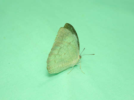 greyish: a white  butterfly in green background. A tropical butterfly. Photo taken in Malaysia