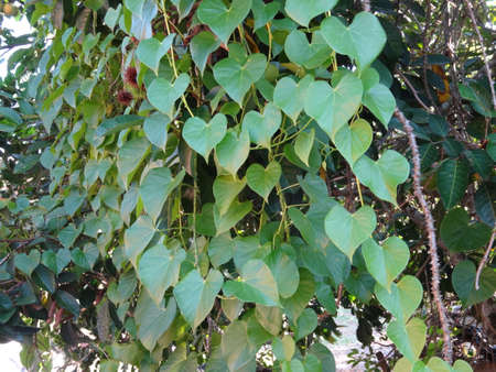 herbaceous: Guduchi herbaceous vine close up on tree