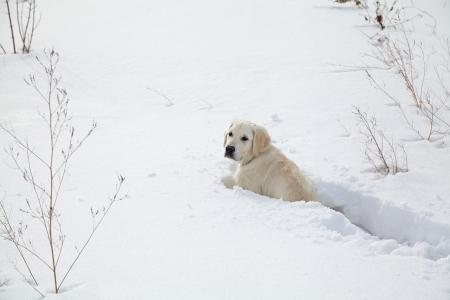 Winter Labrador retriever puppy dog running in snow photo