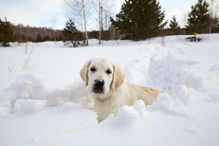 Winter Labrador retriever pup hond loopt in de sneeuw