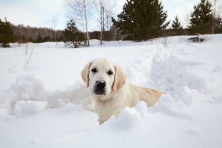 Winter Labrador retriever puppy dog running in snow