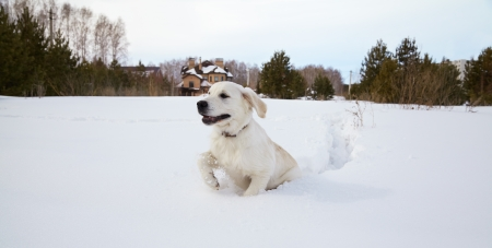 Winter Labrador retriever puppy dog running in snow photo