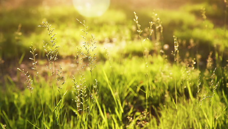 grass illuminated by the setting sun.  summer nature background with backlight