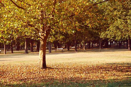 Vergilbende Platane im malerischen Herbstpark. Laubbaum. Standard-Bild