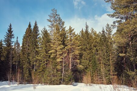 scenic winter landscape. forest with fir trees