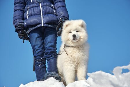 Dog breed Samoyed husky with girl outdoors. puppy dog for a walk with his owner.