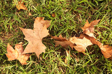 fallen leaves on the grass. autumn nature background