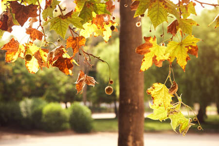 sycamore branch with yellow leaves in a park. autumn nature background. Standard-Bild
